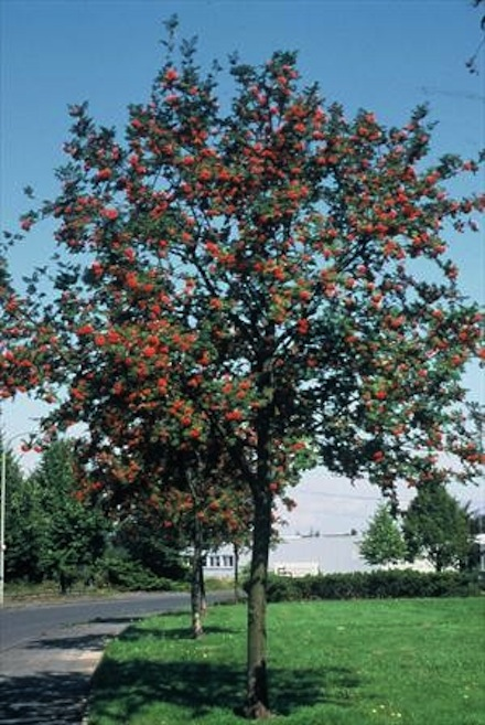 Plant a Tree with Sorbus aucuparia