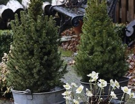 Picea 'perfect for gifts and decorations 2