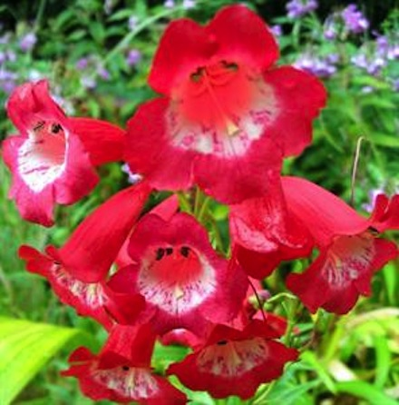 Pretty Penstemons