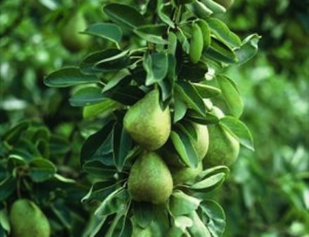 Top fruits for all gardens with apples and pears