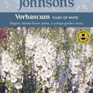 VERBASCUM Flush of White