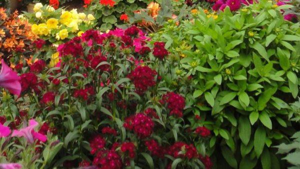 Alpines Herbaceous Heathers Lealans Garden Centre