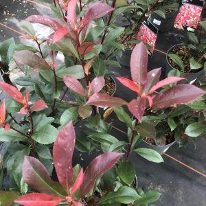 Photinia Carre Rouge