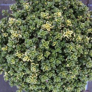 Thymus gold (cit. Aureus)
