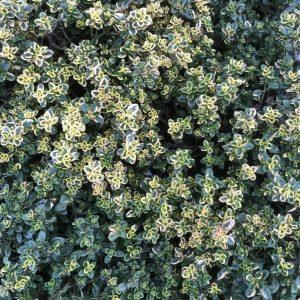 Thymus citriodorus Aureus