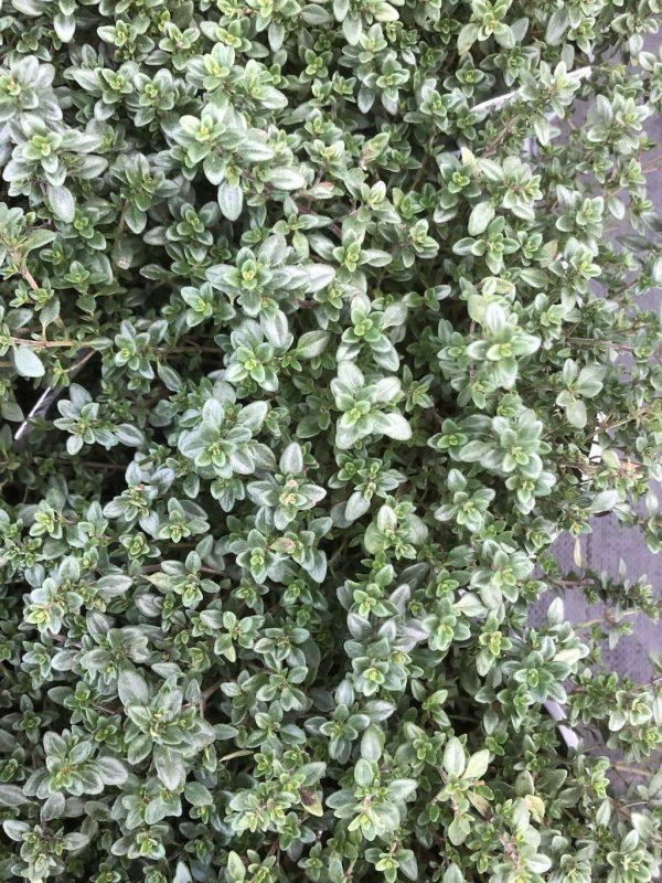 Thymus citriodorus