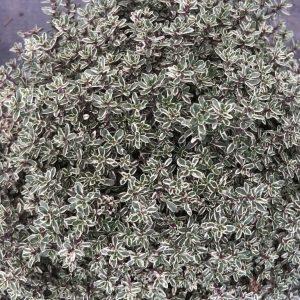 Thymus Silver Queen