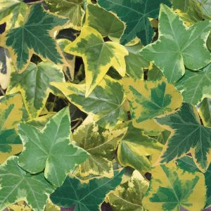 Hedera gold variegated