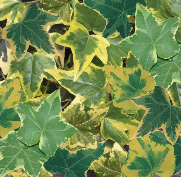 Hedera gold variegated