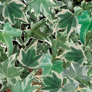 Hedera silver variegated
