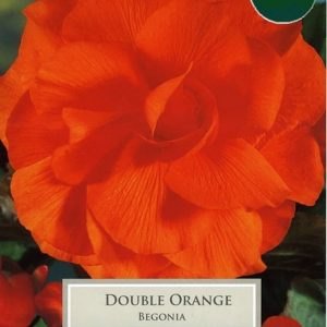 Double Begonia Orange