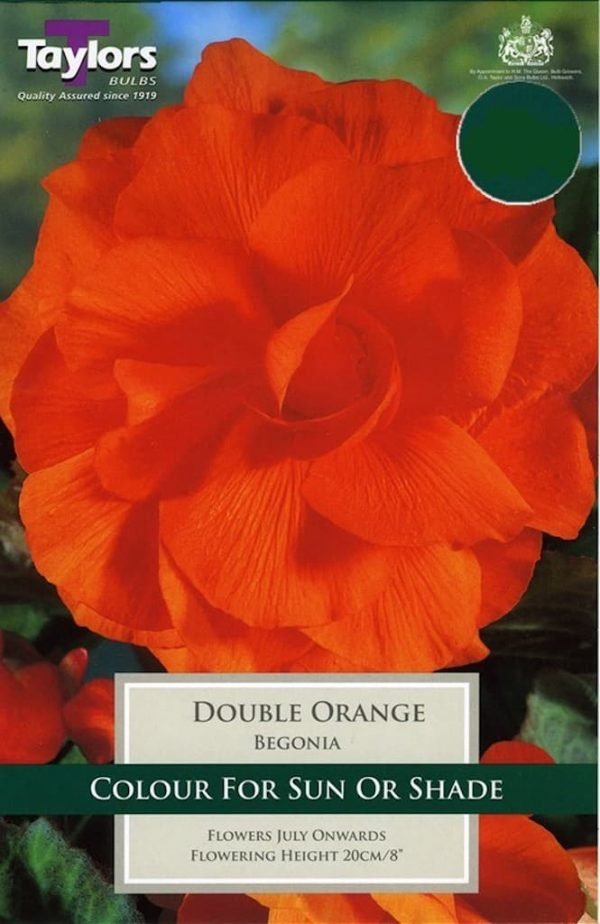 Double Begonia Orange