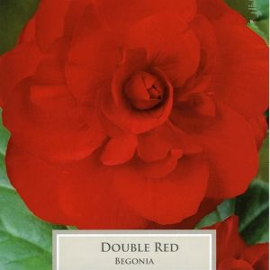 Double Begonia Red