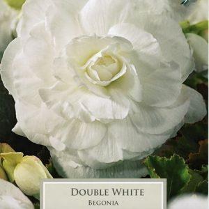 Double Begonia White