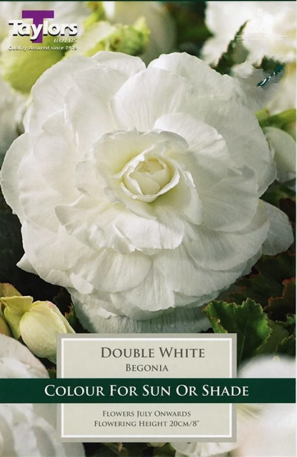 Double Begonia White