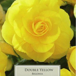 Double Begonia Yellow
