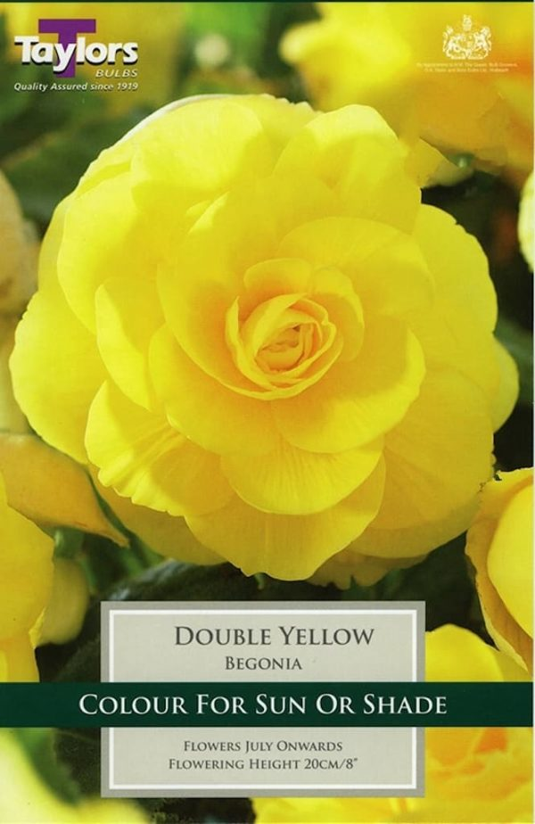 Double Begonia Yellow