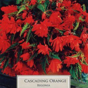 Cascading Begonia Orange