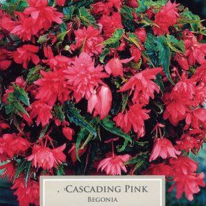 Cascading Begonia Pink