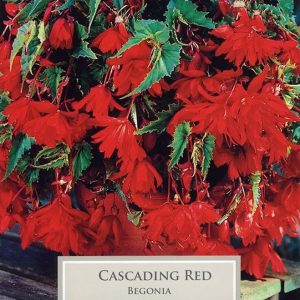 Cascading Begonia Red