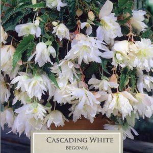 Cascading Begonia White