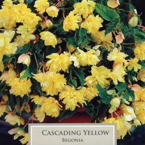 Cascading Begonia Yellow