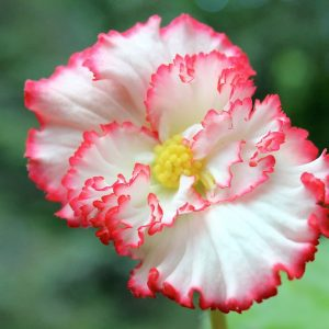 Begonia marginata crispa white