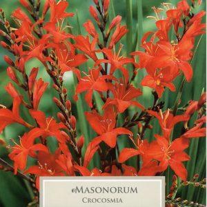 Crocosmia Masoniorum
