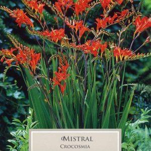 Crocosmia Mistrel