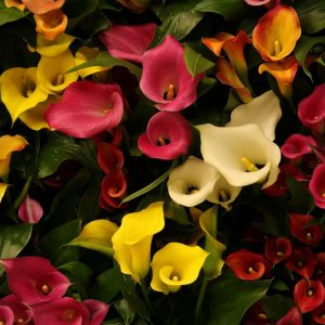 Zantedeschia Mixed