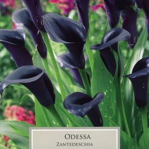 Zantedeschia Odessa
