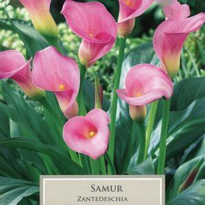 Zantedeschia Samur