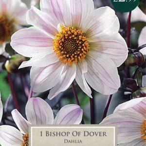 DAHLIA BISHOP OF DOVER I PRE-PACK