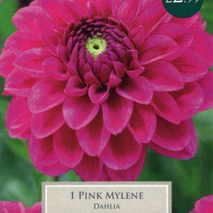 DAHLIA PINK MYLENE I PRE-PACK