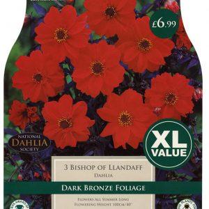 XL VALUE DAHLIA BISHOP OF LLANDAFF I