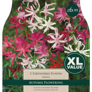 XL VALUE NERINE FIREWORKS FUSION 12-14