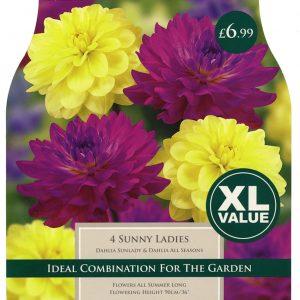 XL VALUE DAHLIA SUNNY LADIES 1
