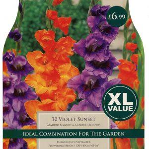 XL VALUE GLADIOLI VIOLET SUNSET 10-12